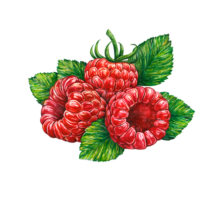 Forest raspberry isolated on white background. Watercolor drawing. Handwork.