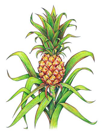 trabajo manual: Pineapple with green leaves tropical fruit growing in a farm. Pineapple drawing isolated on a white background. Colour illustration. Handwork