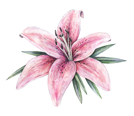 pink lily: Pink lily flowers isolated on white background. Watercolor handwork illustration. Drawing of blooming lily with green leaves Stock Photo