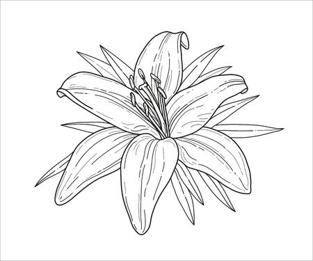 tiger lily: Lily flower monochrome vector illustration. Beautiful tiger lilly isolated on white background. Element for design of greeting cards and invitations