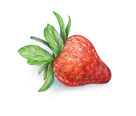 trabajo manual: Strawberry on white background. Watercolor drawing of strawberry berries. Handwork drawn