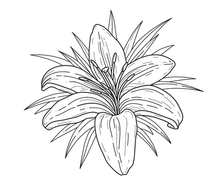 Lily flower monochrome vector illustration. Beautiful tiger lilly isolated on white background. Element for design of greeting cards and invitations