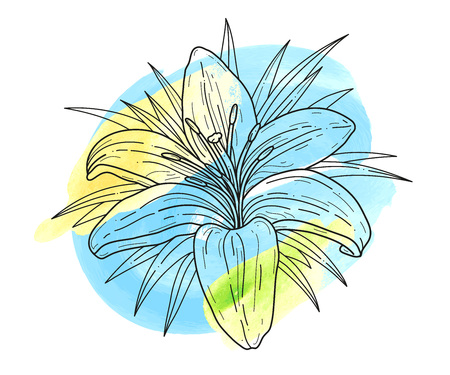 Lily flower monochrome vector illustration and watercolor blots. Beautiful tiger lilly isolated on white background. Illustration