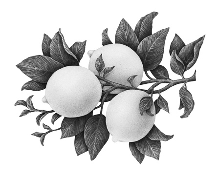 Lemons fruits on a branch with leaves isolated on white background. Monochrome watercolor drawing by hand