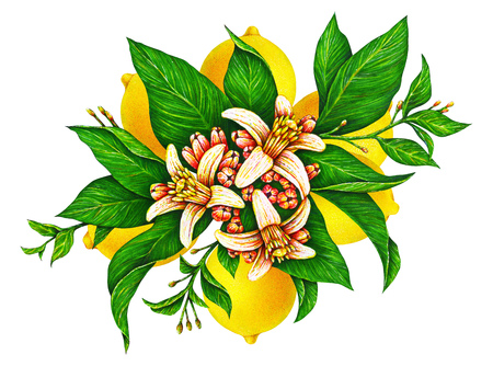 Great illustration of beautiful yellow lemon fruit on a branch with green leaves and flowers isolated on white background. Watercolor drawing by hand Stock Photo