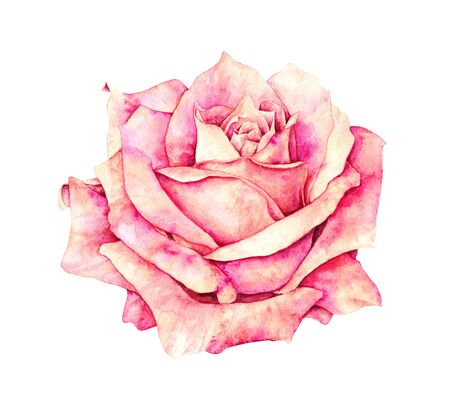 Pink rose flowers isolated on white background. Watercolor handwork illustration. Drawing of blooming rose