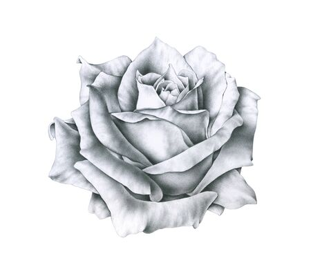 Black and white illustration rose flowers isolated on white background. Handwork monochrome drawing pencil Stock Photo