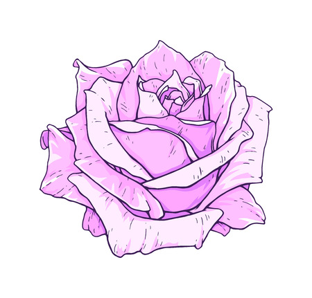 Pink rose flowers isolated on white background. Vector handwork illustration. Drawing of blooming rose Illustration