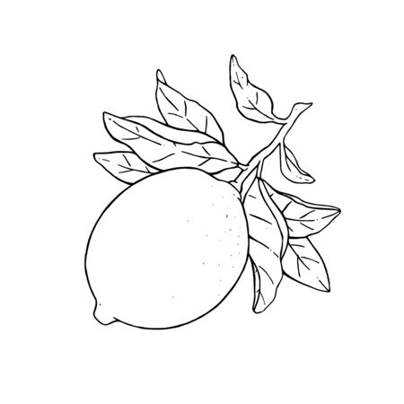Great vector illustration of beautiful lemon fruit on a branch with leaves isolated on white background. Black and white drawing of lemon