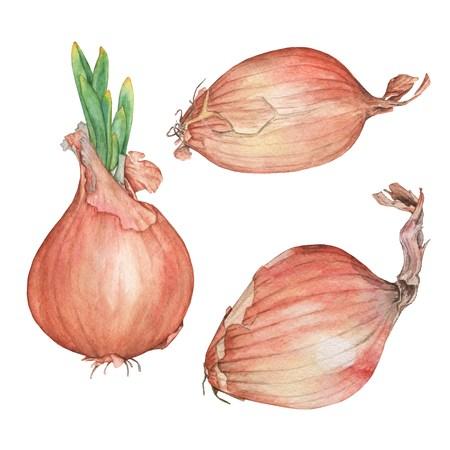 Establecer cebollas. Ilustración de acuarela. Dibujo hecho a mano Aislado en blanco Foto de archivo - 75502228