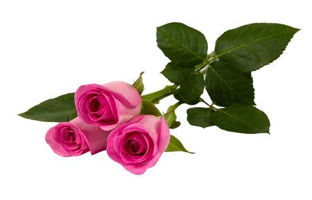 Three pink roses isolated on white background closeup shot