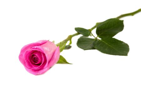 Pink rose isolated on white background closeup shot Фото со стока