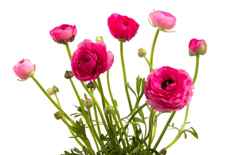 beautiful flowers red ranunculus isolated on white background