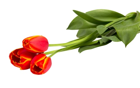 Three red tulips isolated on white background closeup shot