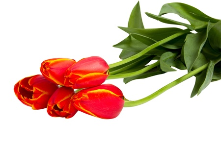 Five red tulips isolated on white background closeup shot Фото со стока