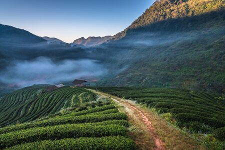 Morning mist at tea plantation on doi angkhang mountain of chiangmai in Thailand
