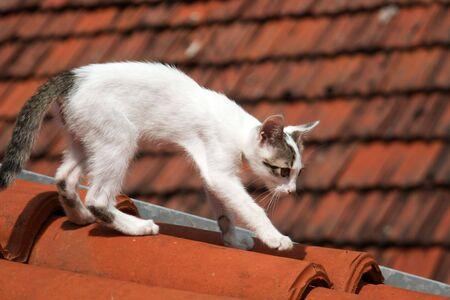 Cute chat blanc, marche sur le toit Banque d'images
