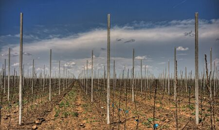 View on rows of apple trees in orchard Stock Photo - 8665604