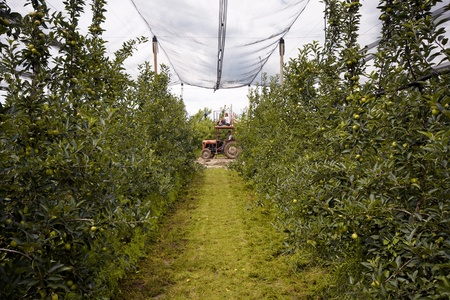 View on rows of apple trees in orchard Stock Photo - 8665610