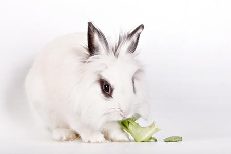 munch: White rabbit, a lions head, eats a salad Stock Photo