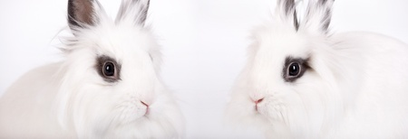 munch: Two small white rabbit, a lions head, closeup Stock Photo