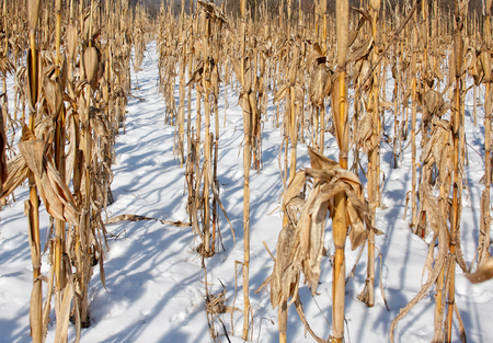 snow field: Corn field covered with snow in winter
