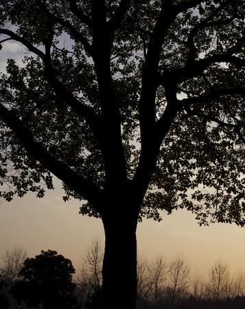 century plant: Tree