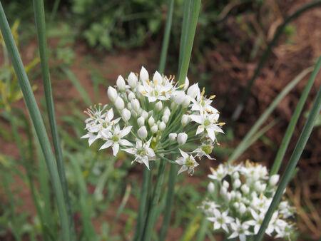 tuberosum: Leek flowers