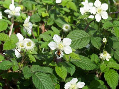 rosoideae: Bee sucking nectar of white flowers  Stock Photo