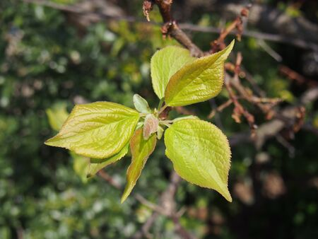 ume: Leaves of japanese apricot (ume)