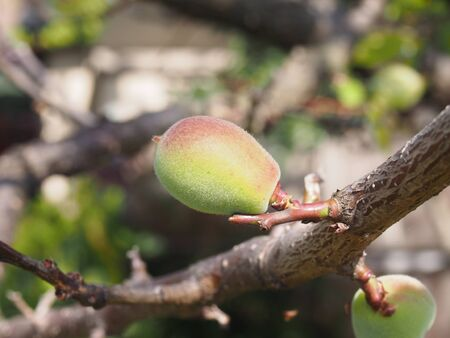 ume: Young japanese apricot (ume) Stock Photo