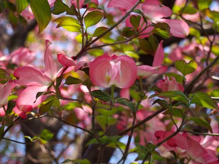 dogwood: Flower of a dogwood