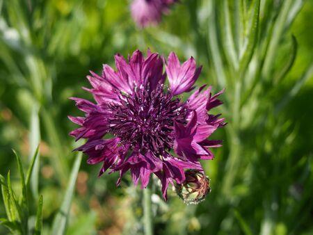 cornflower: cornflower purple