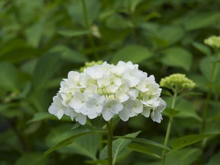 hydrangeaceae: White Hydrangea Stock Photo