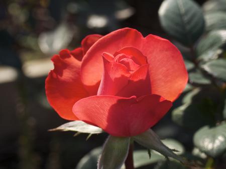 penetracion: Rosa roja penetraci�n de la luz Foto de archivo