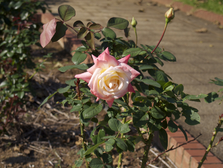 lady diana: Rose with a gradation