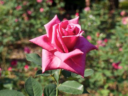 purple rose: Light purple rose