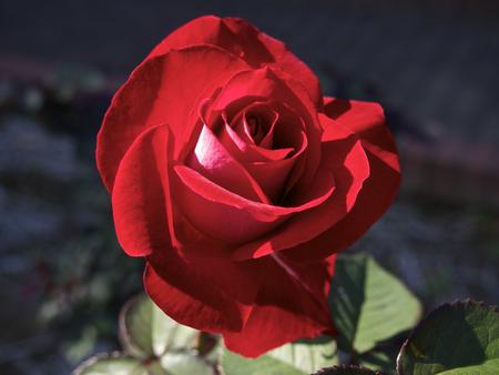 ronald reagan: Red rose Stock Photo