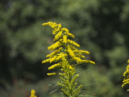 naturalized: Canada goldenrod Stock Photo