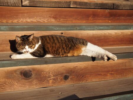 land mammals: Cat lying in the precincts of the Japanese temple