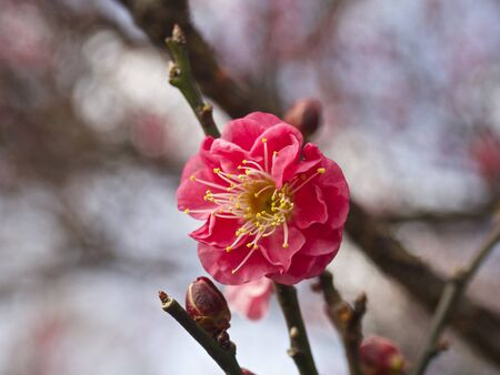 japanese apricot flower: Japanese apricot Early-blooming
