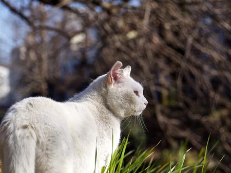 land mammals: White cat is staring at something