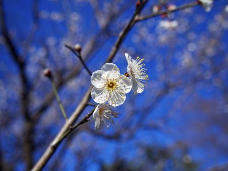 japanese apricot flower: White japanese apricot