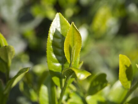 young leaf: Young leaf of japanese green tea