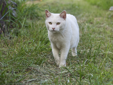 oriental white cat: The white cat which there is outdoors