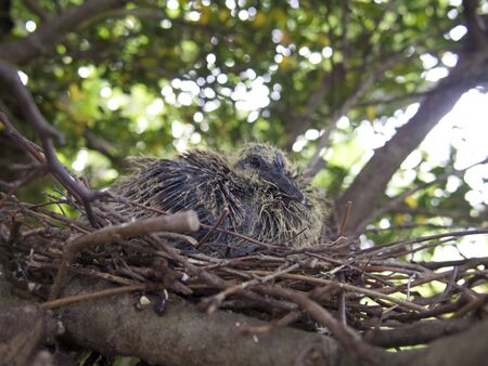 young bird: Young bird of oriental turtle dove