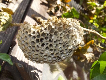 burrows: Nest of paper wasp | Ashinaga-Bachi-no-Su Stock Photo