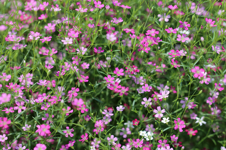 Background with tiny colorful flowers (gypsophila paniculata), blurred, selective focus