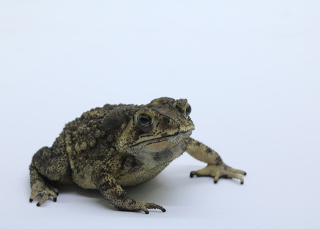 Asian common toad on white background Stock Photo