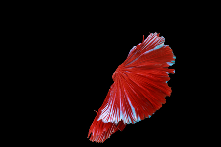 Capture the moving moment of red siamese fighting fish isolated on black background. Betta fish Stock Photo